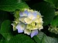 Hydrangeas (Andere)